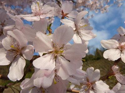 さくら図鑑:江戸彼岸-桜の花見ガイド|自然人ネット