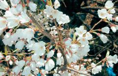 北陸に自生するサクラ-桜の花見...